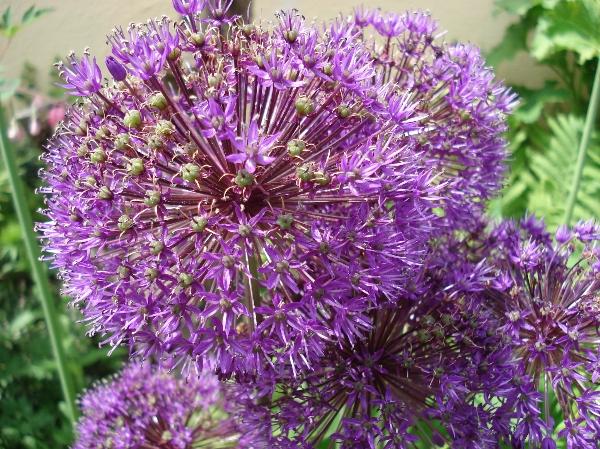 Zierlauch/Allium